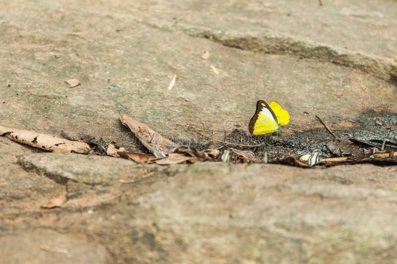 Papillon jaune sur la pierre photo stock