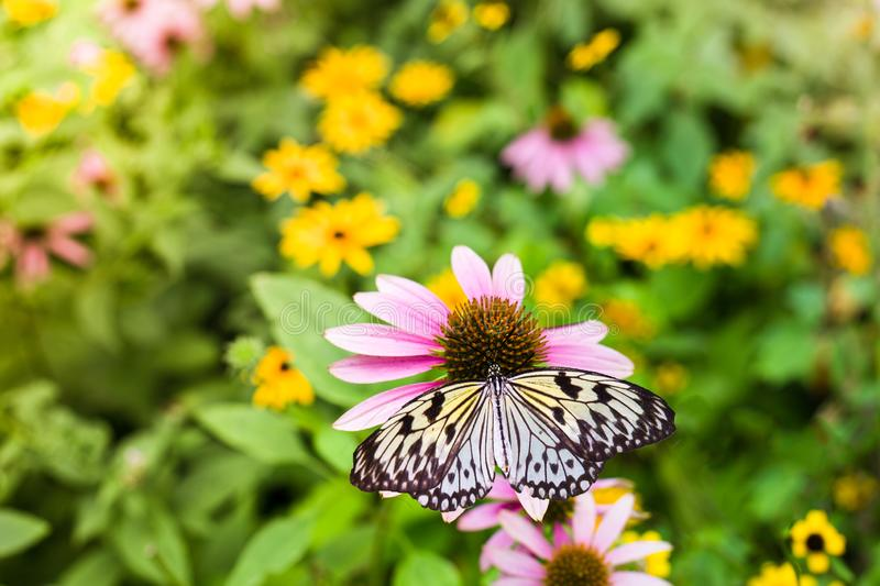 Papillon jaune sur un coneflower pourpre images stock