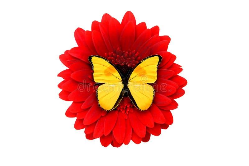 Papillon jaune tropical se reposant sur une fleur rouge de gerbera isola photo stock