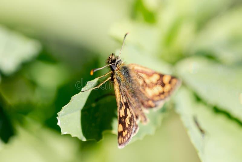 Papillon journalier de capitaine de fin de famille de Hesperiidae vers le haut de macro photos libres de droits