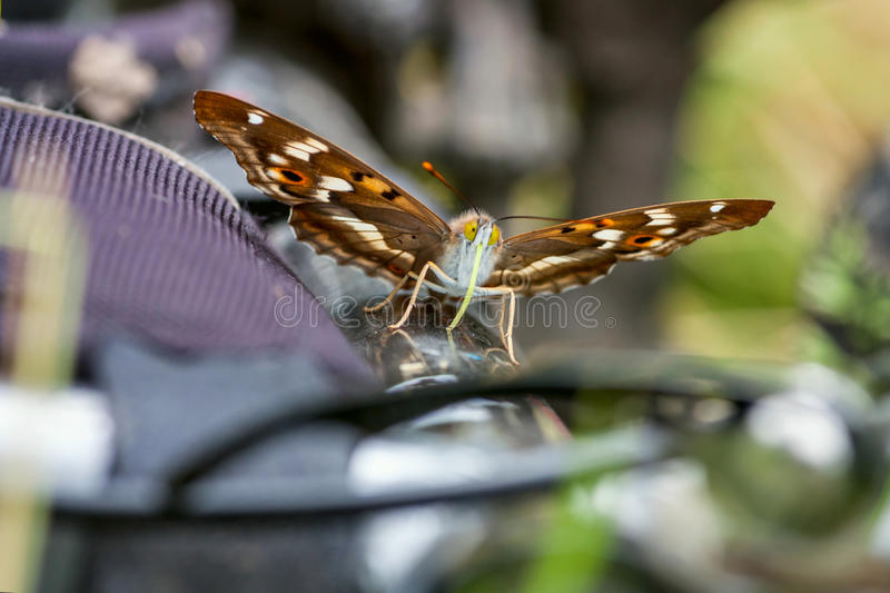 Papillon Lesser Purple Emperor et x28 ; Ilia& x29 d'Apatura ; photo stock