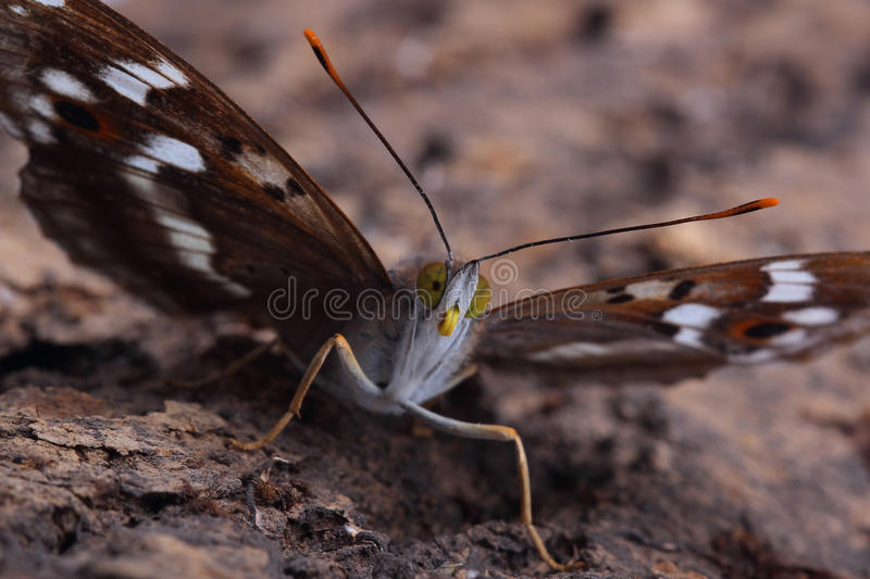 Papillon - Lesser Purple Emperor (ilia d'Apatura) photo stock