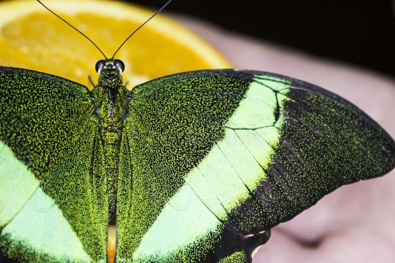 Papillon lumineux vert photo stock