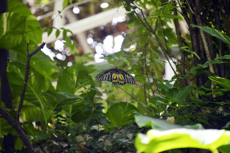 Papillon masculin image stock