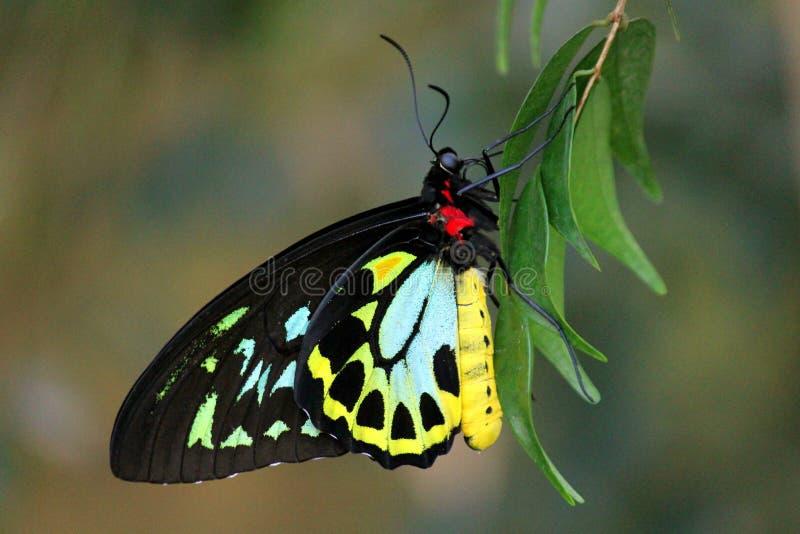 Papillon masculin de Birdwing image libre de droits
