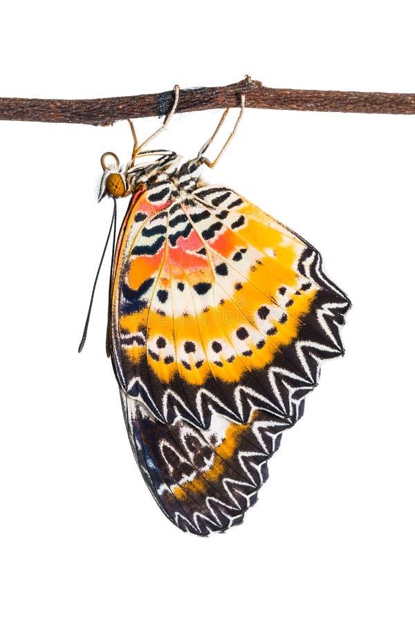 Papillon masculin de cyane de Cethosia de lacewing de léopard photos libres de droits