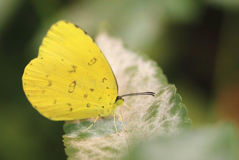 Papillon migrateur de citron, Cassia Butterfly images libres de droits