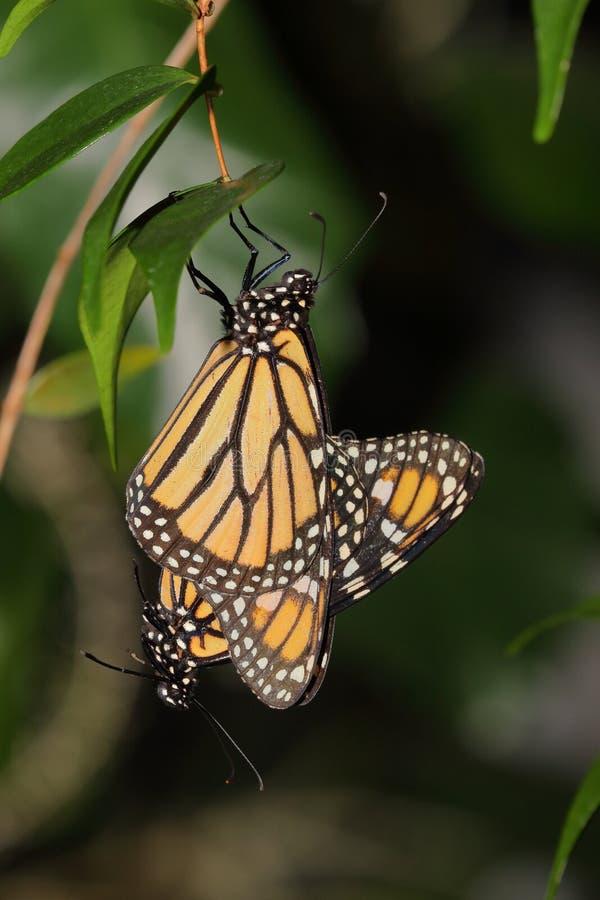 Papillon - monarque - Nymphalidae - Danainae - accouplement images libres de droits