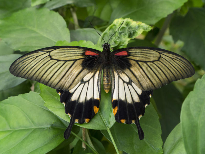 Papillon - mormon cramoisi - Bali - l'Indonésie photographie stock libre de droits