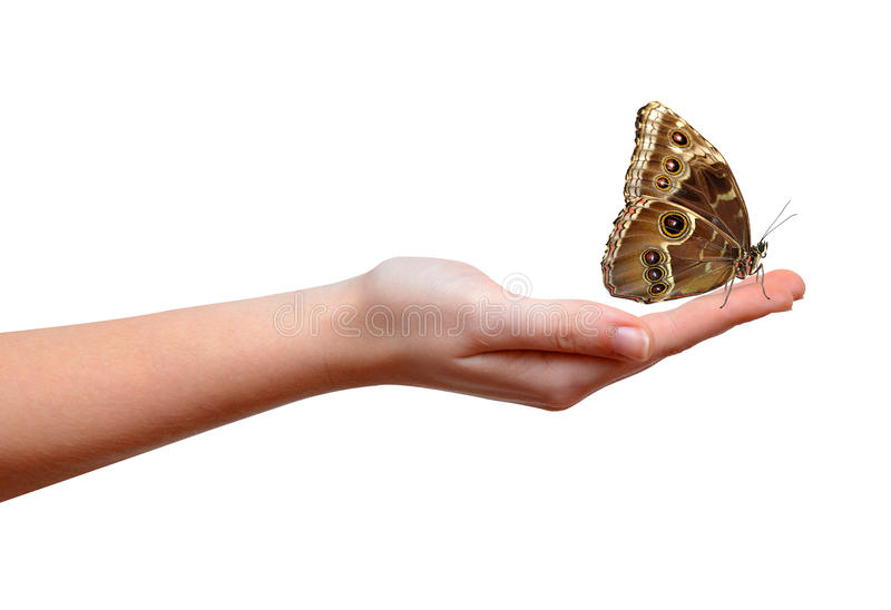 Papillon Morpho se reposant sur la main images stock
