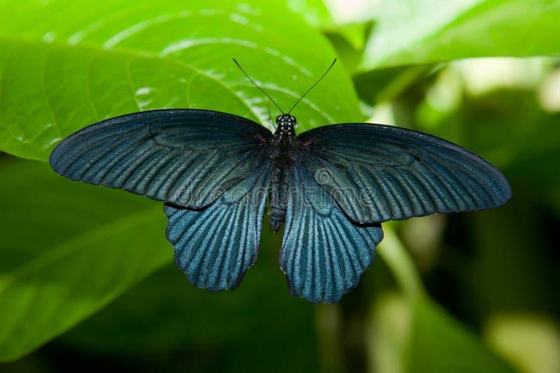 Papillon noir au-dessus de feuille verte image libre de droits