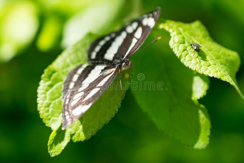 Papillon noir et blanc été perché sur la feuille vert clair photo stock