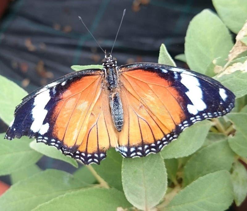 Papillon noir et blanc orange image stock