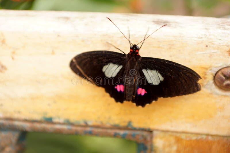 Papillon noir et rouge sur un banc photos stock