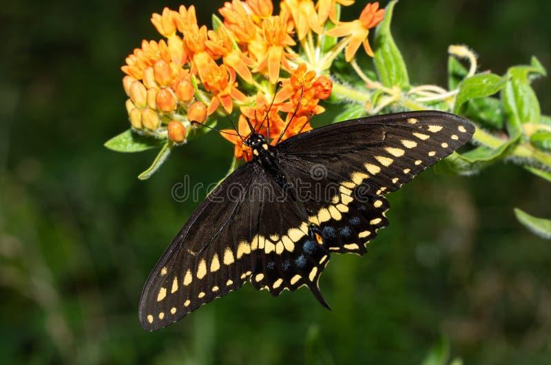 Papillon noir oriental masculin de machaon alimentant sur Butterflyweed image libre de droits