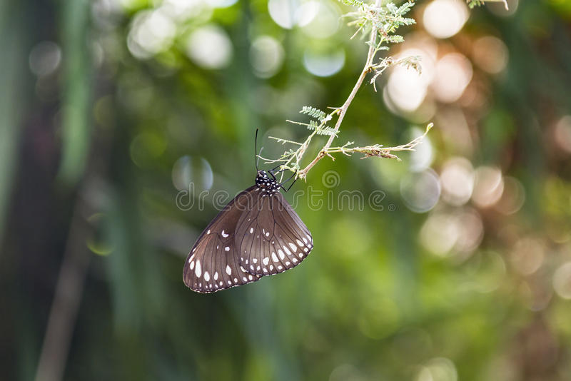 Papillon noir repéré de corneille photographie stock