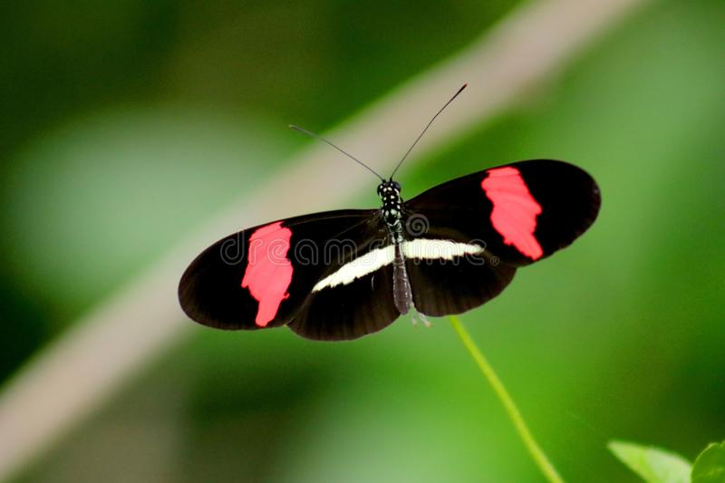 Papillon noir, rouge et blanc en photo fermée image stock