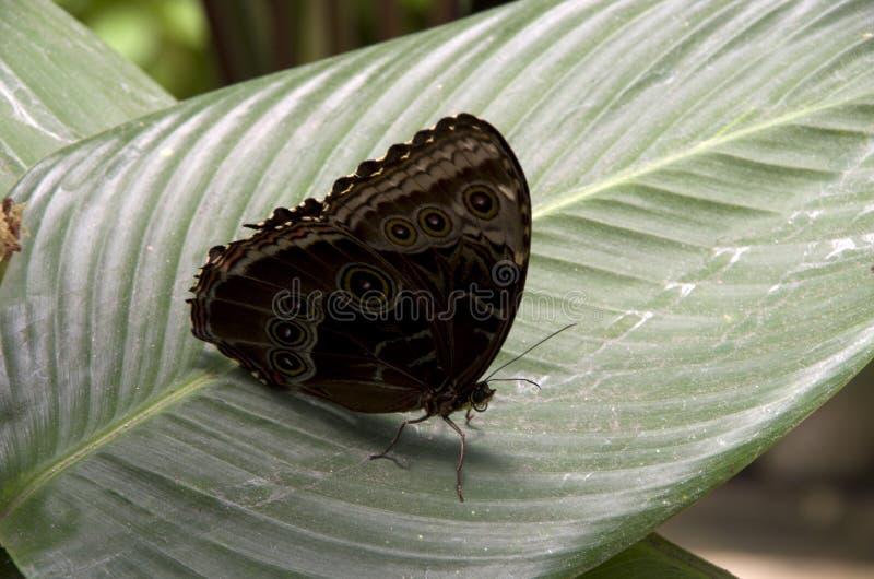 Papillon noir sur le congé de banane photographie stock libre de droits