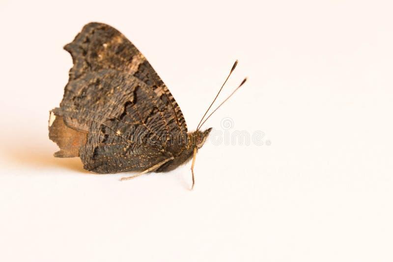 Papillon noir sur une feuille de papier blanche Fin vers le haut image stock