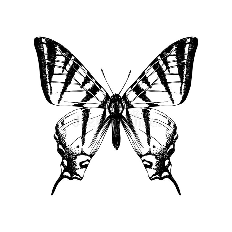 Papillon occidental tiré par la main de machaon de tigre illustration de vecteur
