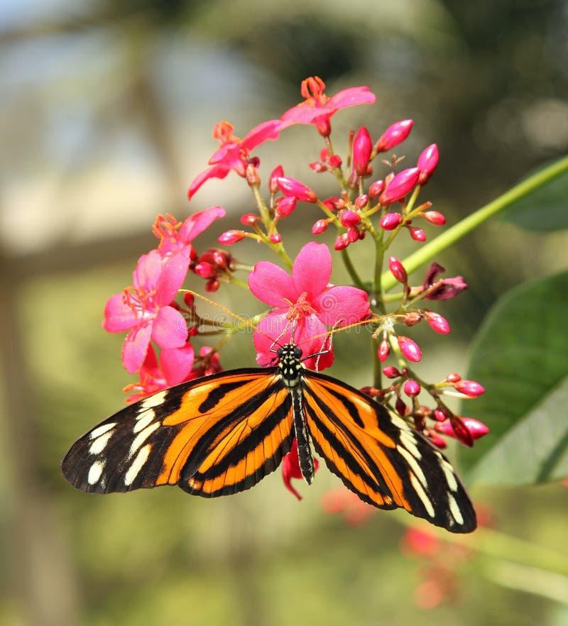 Papillon orange et blanc noir photos libres de droits