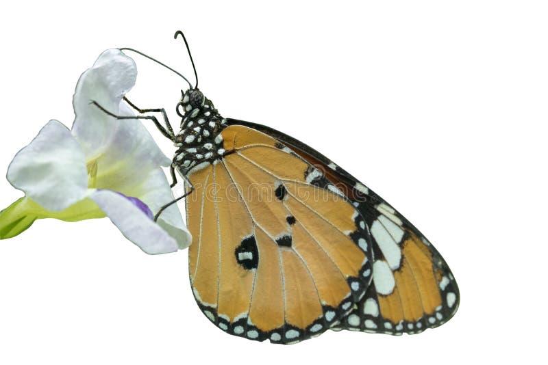 Papillon orange et noir et fleur blanche sur le fond blanc d'isolat photo stock