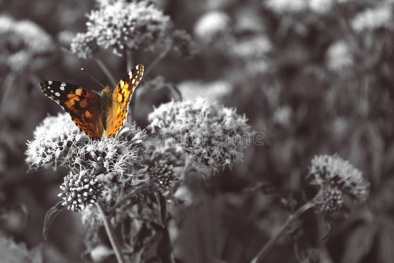 Papillon orange, photographie noire et blanche photos libres de droits