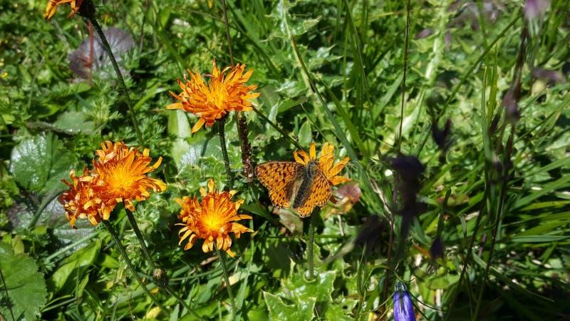 Papillon orange sur les fleurs oranges photo libre de droits