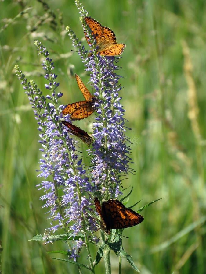Papillon orange sur les fleurs violettes, Lithuanie images stock