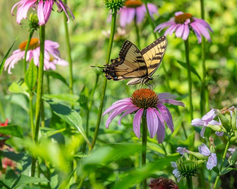Papillon oriental de machaon de tigre dans les domaines de l'Echinacea Coneflowers image libre de droits