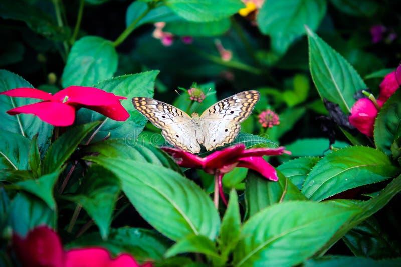 Papillon pâle photographie stock