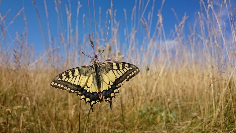 Papillon parfait sur l'herbe photographie stock