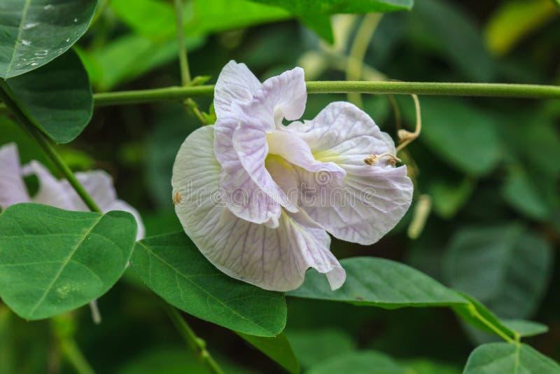Download Papillon Pea Flower photo stock. Image du asie, vert - 56488720