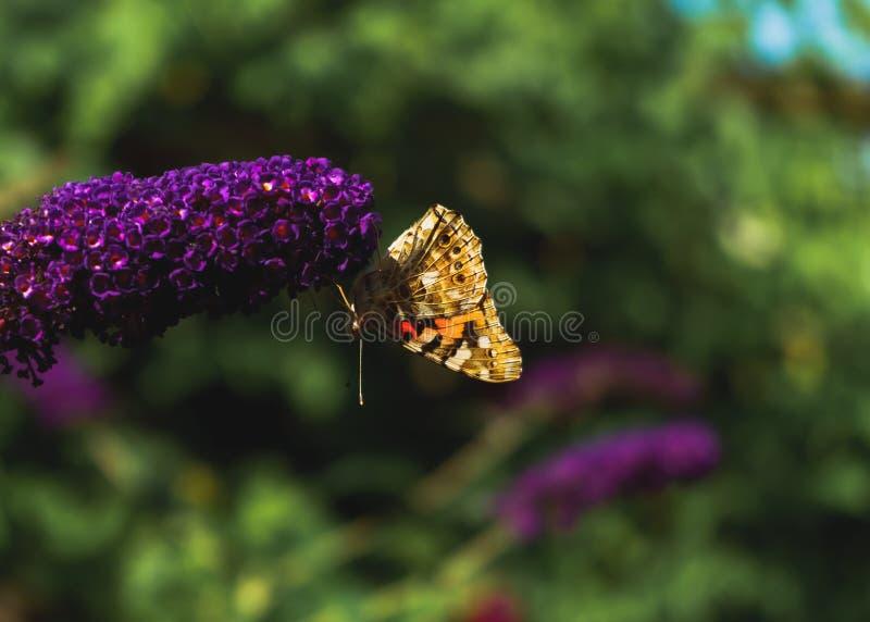 Papillon peint à l'envers de dame rassemblant le pollen des fleurs de Buddleja photographie stock libre de droits