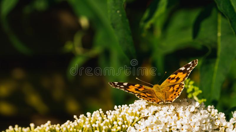 Papillon peint de dame rassemblant le pollen des fleurs de Buddleja photo libre de droits