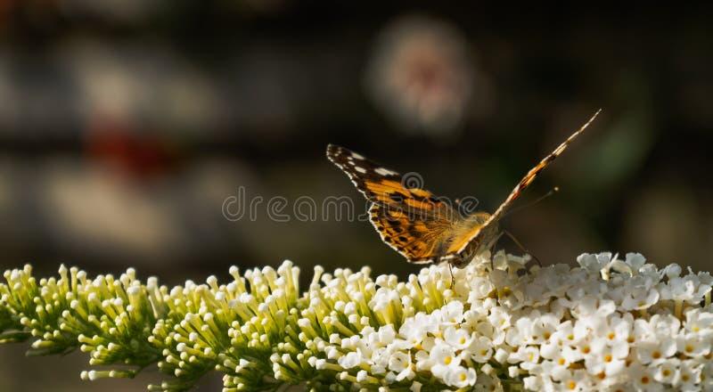 Papillon peint de dame rassemblant le pollen des fleurs de Buddleja photographie stock libre de droits