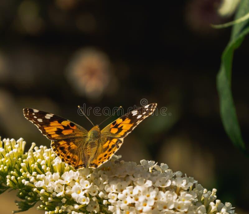 Papillon peint de dame rassemblant le pollen des fleurs de Buddleja photos libres de droits