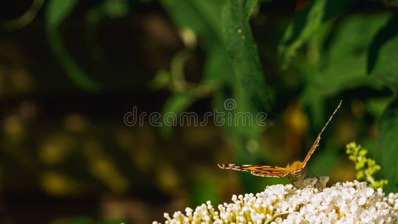 Papillon peint de dame rassemblant le pollen des fleurs de Buddleja photos stock