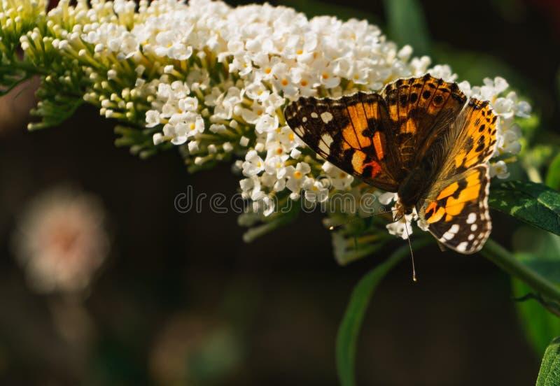Papillon peint de dame rassemblant le pollen des fleurs de Buddleja images stock