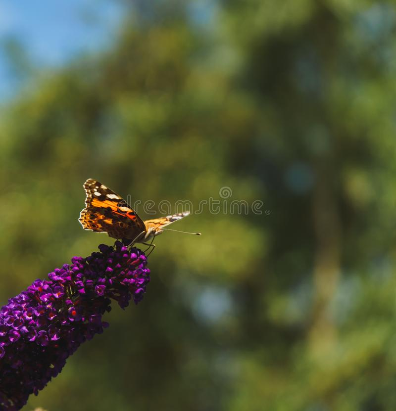 Papillon peint de dame rassemblant le pollen des fleurs de Buddleja photo stock