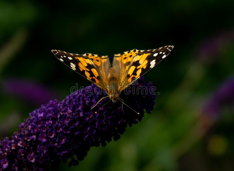 Papillon peint de dame rassemblant le pollen des fleurs de Buddleja photographie stock