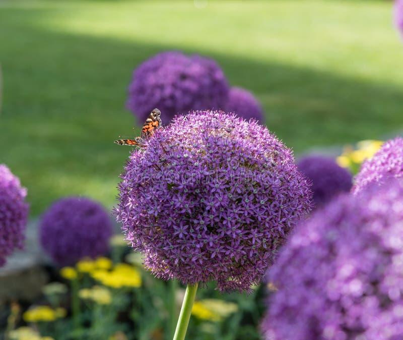 Papillon peint de dame se reposant sur une belle fleur pourpre d'allium à un jardin botanique à Durham, la Caroline du Nord image libre de droits