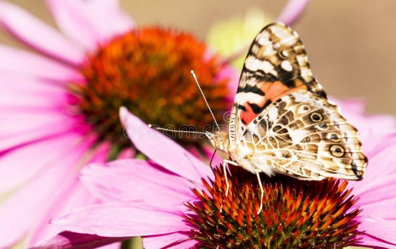 Papillon peint de dame sur un coneflower pourpre photos libres de droits