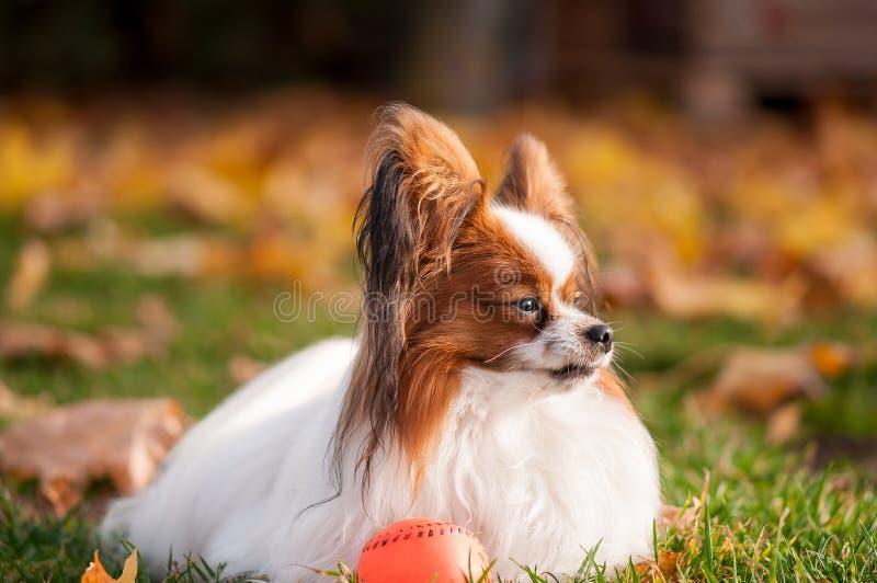 Papillon pies bawi? si? z pi?k? outdoors zdjęcia royalty free