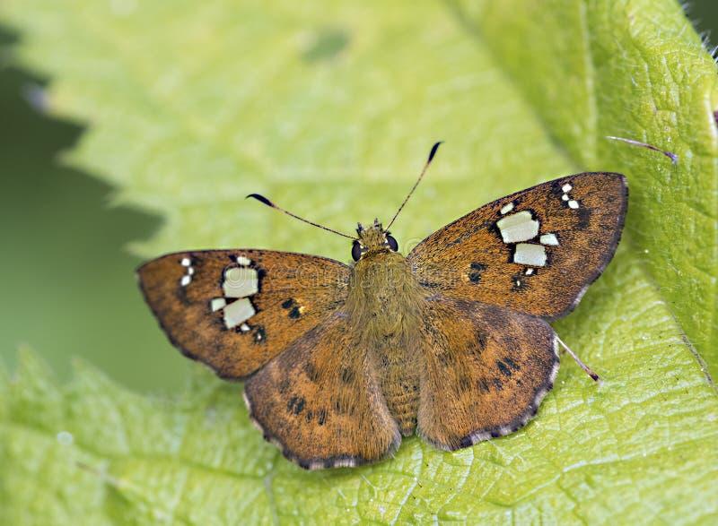 Papillon plat pie fauve sur le fond de feuille photo stock
