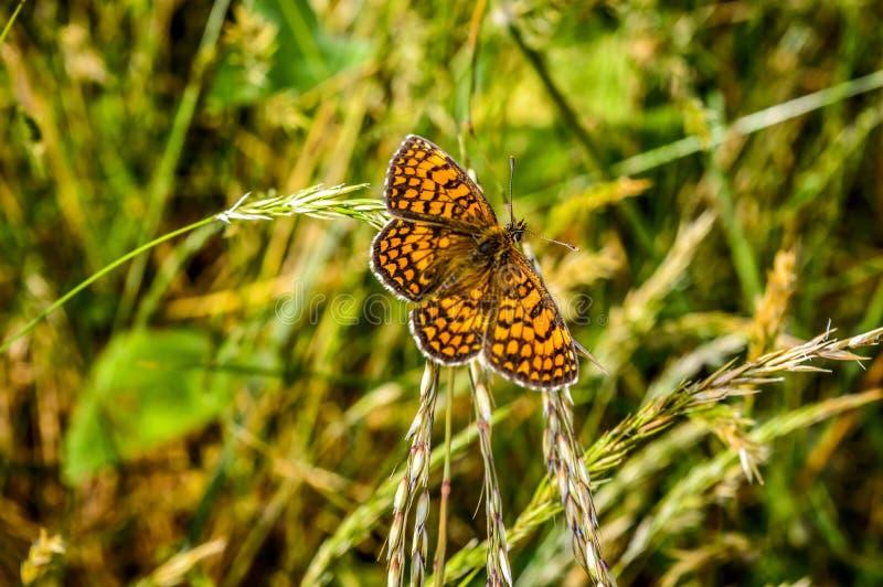 Papillon possed dans la feuille d'herbe photographie stock libre de droits