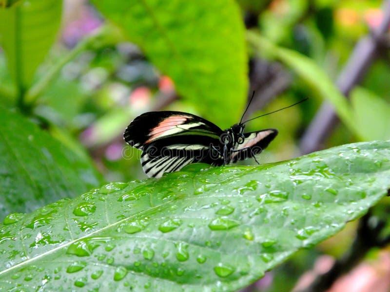 Papillon principal Heliconius Melpomene de piano image stock