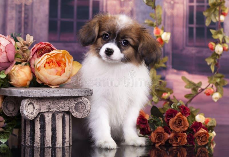 Papillon puppy royalty free stock photos