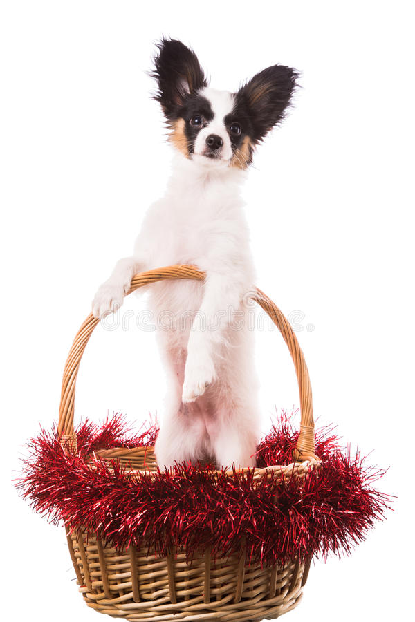 Papillon puppy sitting in Christmas basket on isolated white royalty free stock image
