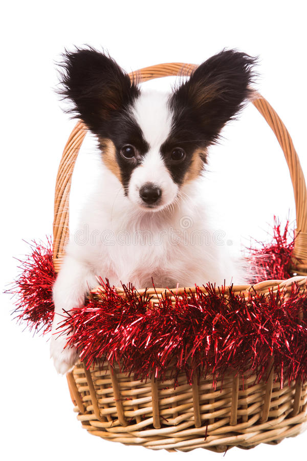 Papillon puppy sitting in Christmas basket on isolated white royalty free stock photos